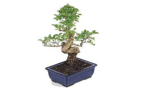 BONSAI TREE SOIL with CHARCOAL