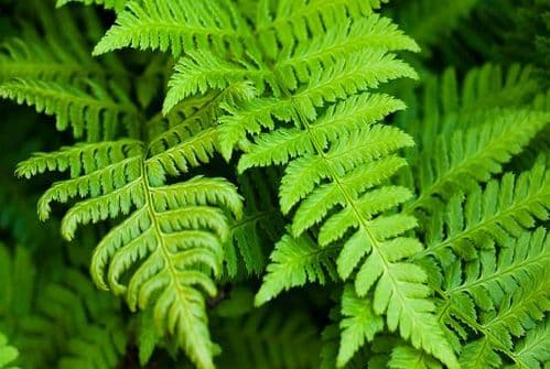 COMPOST FOR HARDY FERNS & ORNAMENTAL GRASSES