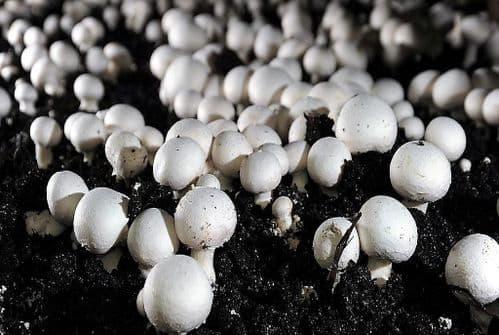 MUSHROOM GROWING COMPOST