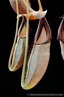 BE3036 Nepenthes bongso
