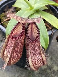 BE3380 Nepenthes hamata