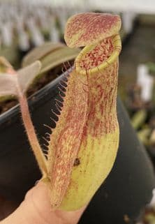 BE3786 Nepenthes maxima
