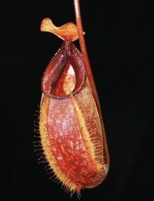 BE3898 Nepenthes aristolochioides x hamata
