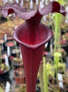 H11 Sarracenia x moorei all red form