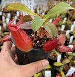 NMC202s Nepenthes 'Bloody Mary' small
