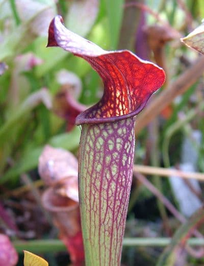 S.X Ahlesii | North American Pitcher Plant