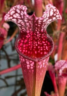 SH010 Sarracenia 'Dutch Stevens'