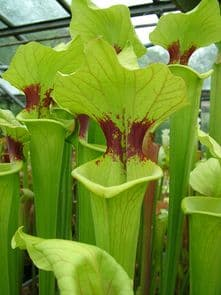 SH011 Sarracenia x Brooks hybrid