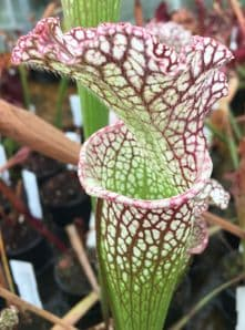 SH070 Sarracenia MR Pink rim